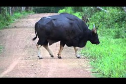 Wilder Gaur in Thailand