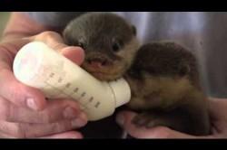 Otter Babies Handaufzucht